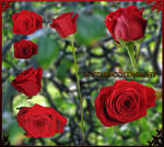Red roses 9 PNG by starscoldnight