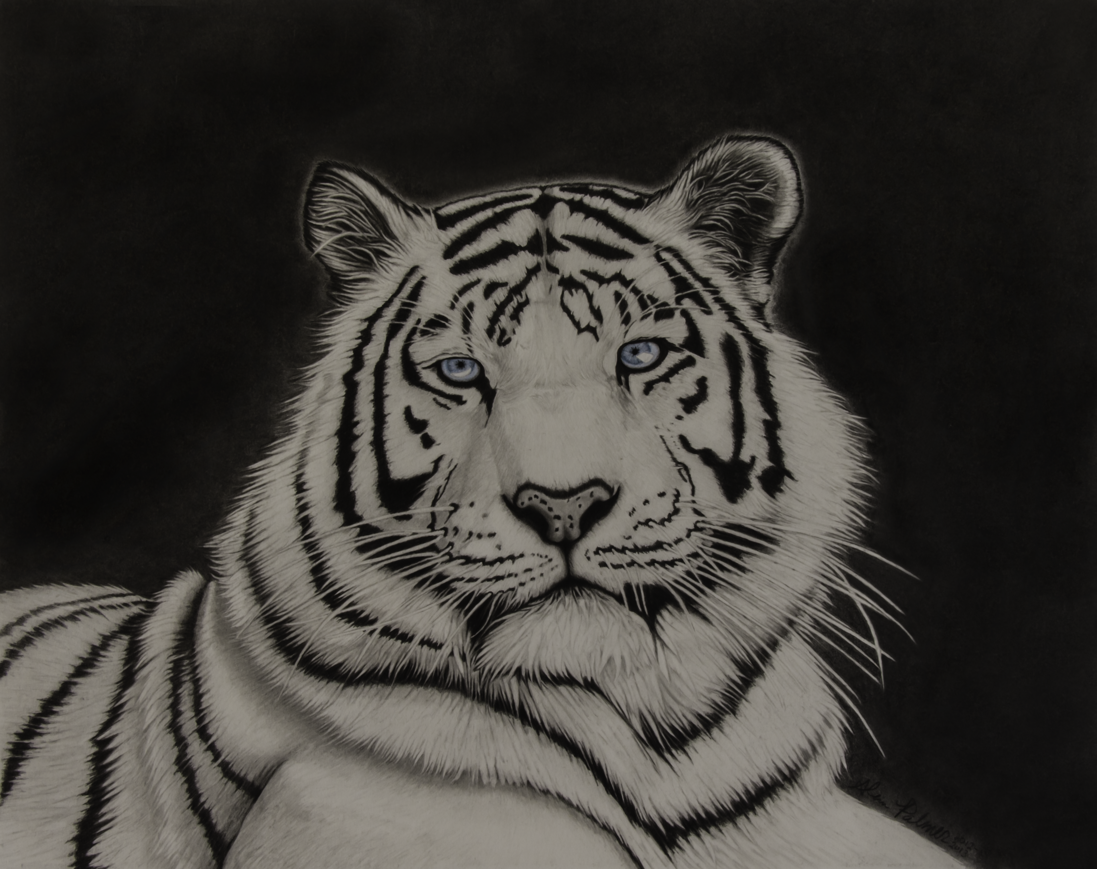 White tiger pencil drawing by alpoarts white tiger pencil drawing by alpoarts
