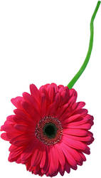Flower 14_Daisy - Stock by Inadesign-Stock