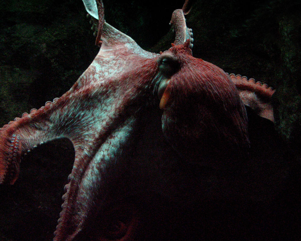 K-S: Octopus by Kyndelfire-stock