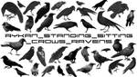 Standing_Crows_Raven brushes