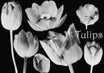 Tulip Brushes 01