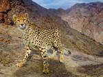 Asiatic Cheetah (Cheetahs)