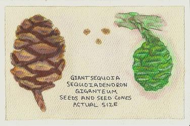 sequoias | Explore sequoias on DeviantArt