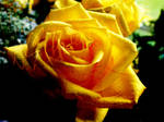 Yellow Rose - Wallpaper