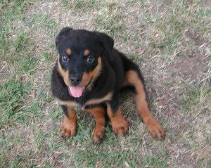 Buffy The Rottweiler Pack by TheButterZone