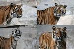 Tiger Portrait Pack