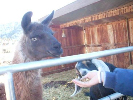 Llama-tastic :3
