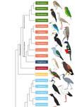 Birds phylogenetic tree (part II)