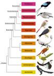 Avialae phylogenetic tree