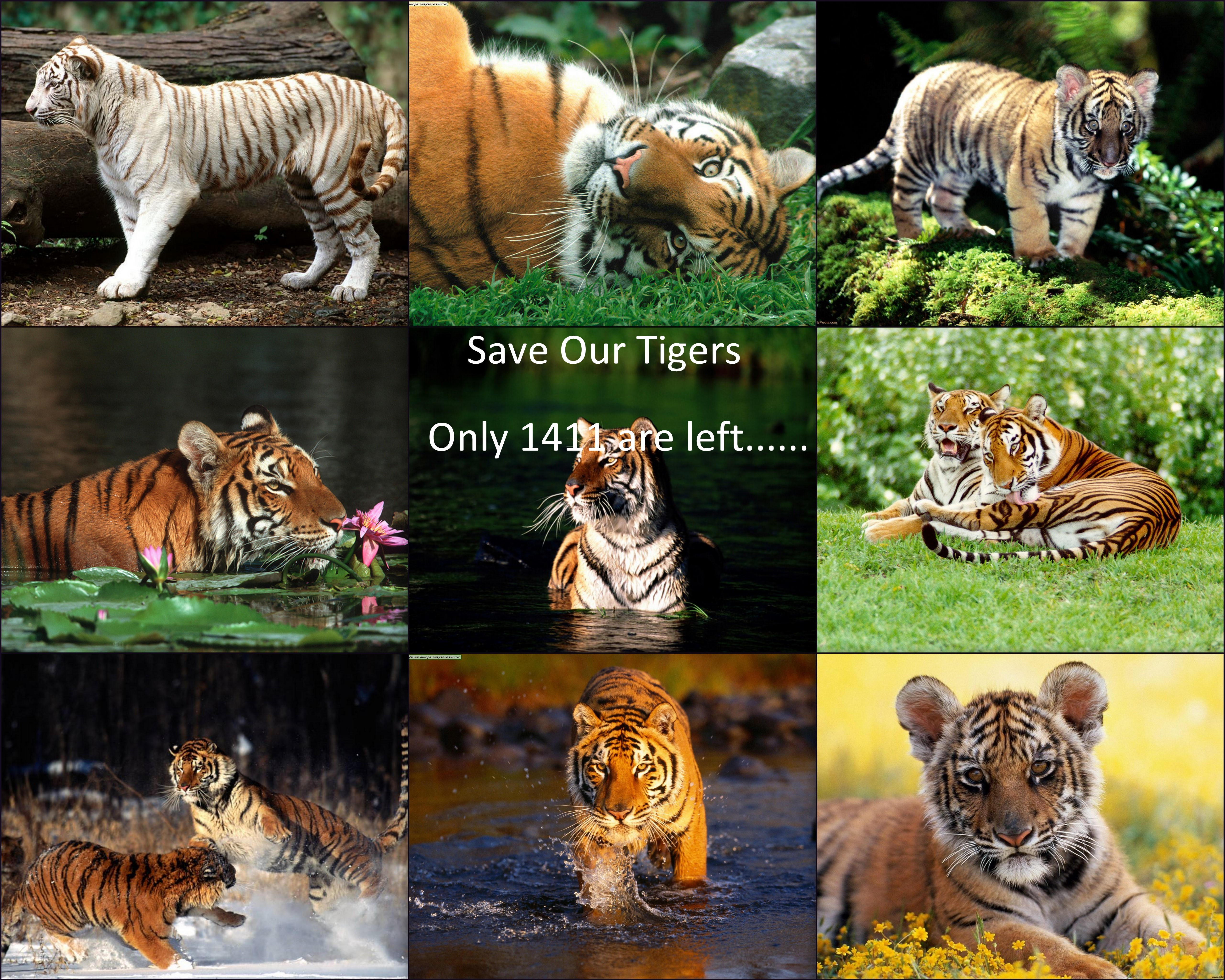 save our tigers Tigers have long provoked awe in the human  if we save the tigers,  the united states has no wild tigers our big cats are animated in.
