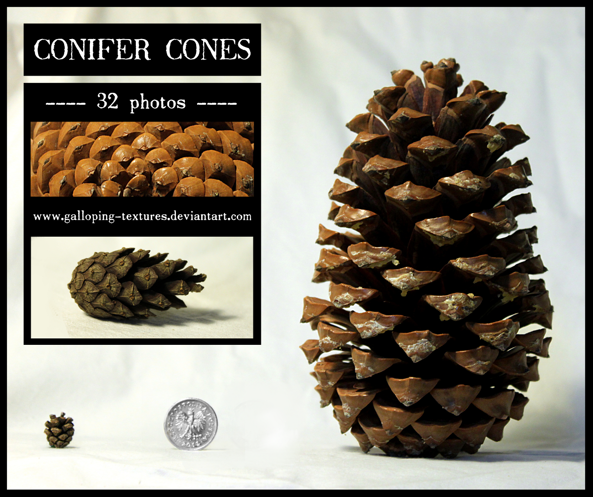 Conifer cones by Galloping-Textures