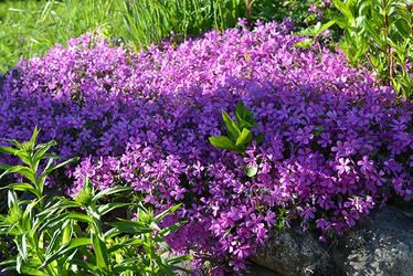 Pink-violet Phlox