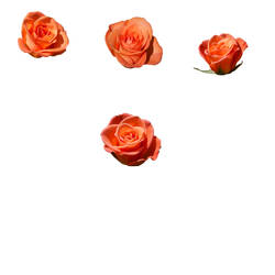 Peach roses pack, psd -files, unrestricted stock