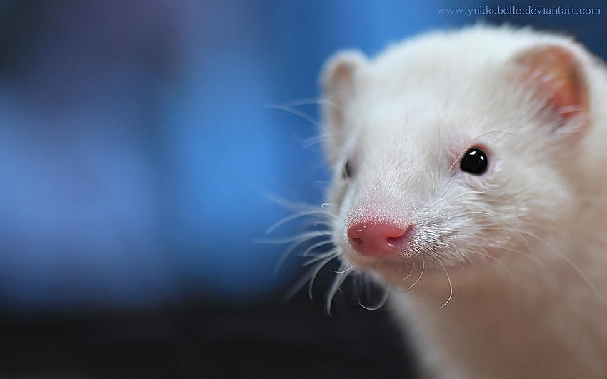 ferret face wallpaper background - photo #10