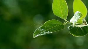 GreenLeaves Live Wallpaper for RainWallpaper