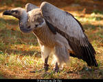 White Backed Vulture Zip 2