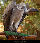 White Backed Vulture Zip 1