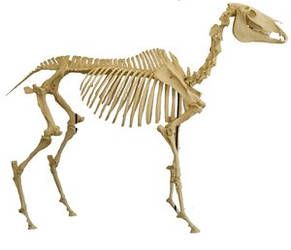 Horse Skeleton PSD by SalsolaStock