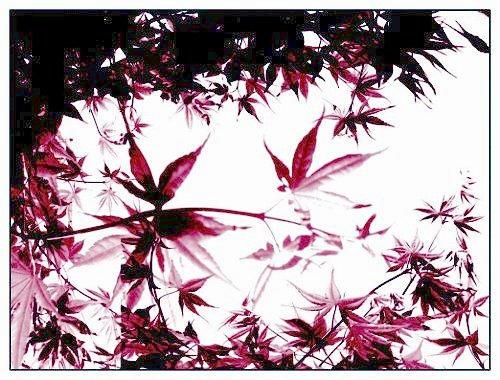 erable.japonnais by ShadyMedusa-stock