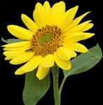 sunflower 2 psd
