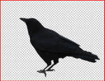 Crow .psd cut out