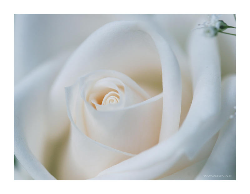 Creamy White Rose - Wallpaper by ~donia on deviantART
