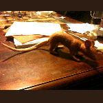Pouched Rat Plushy by Talzhemir1