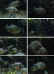Blue Planet - Fish 2 - Piranha