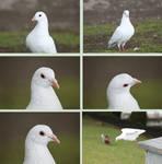 Birds Pack Doves