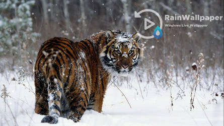 Snow Tiger by Jimking
