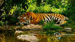 Tiger Resting By River by Jimking