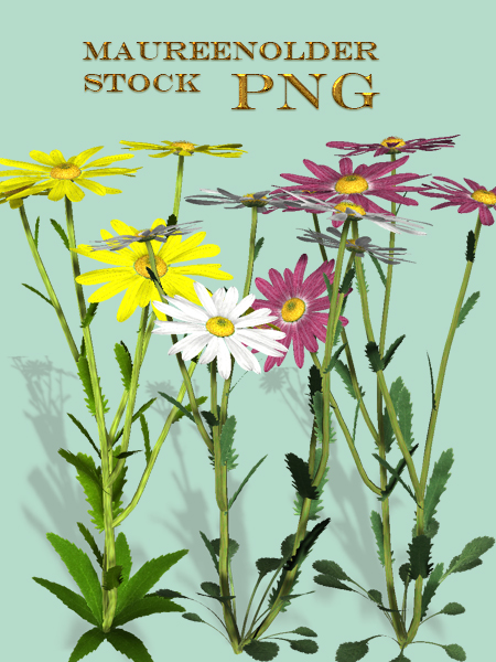 STOCK PNG daisies