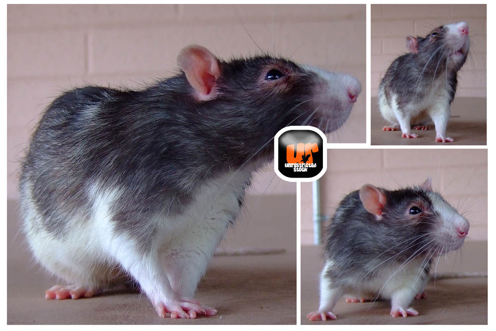 A cute funny rat stock by Unrestricted-Stock