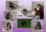Zoo Tycoon Paper Collection - Chimpanzee