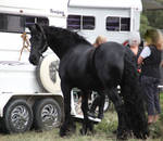 FR Friesian Standing looking back at cam ears up