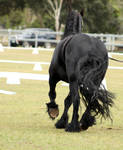FR Friesian trotting from behind