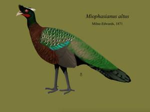Miophasianus altus