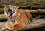 Tiger yawning animation