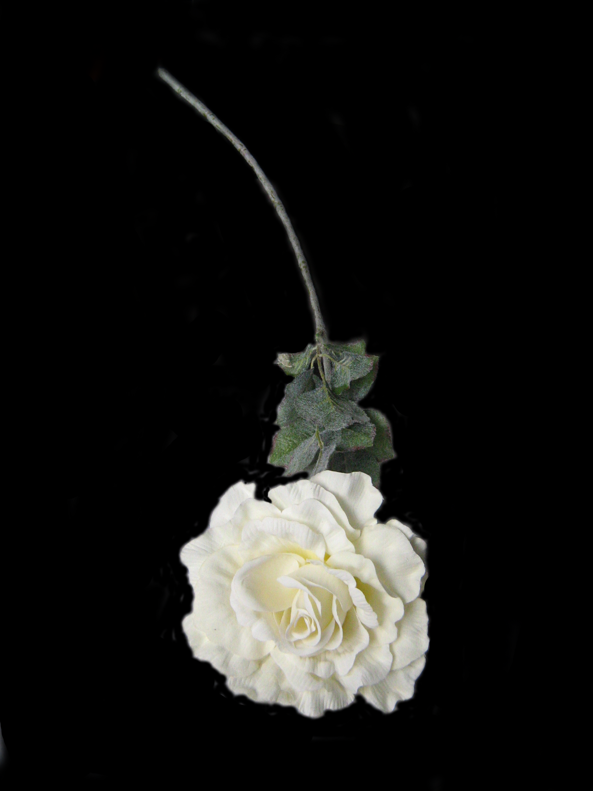 White Rose Png White Rose by