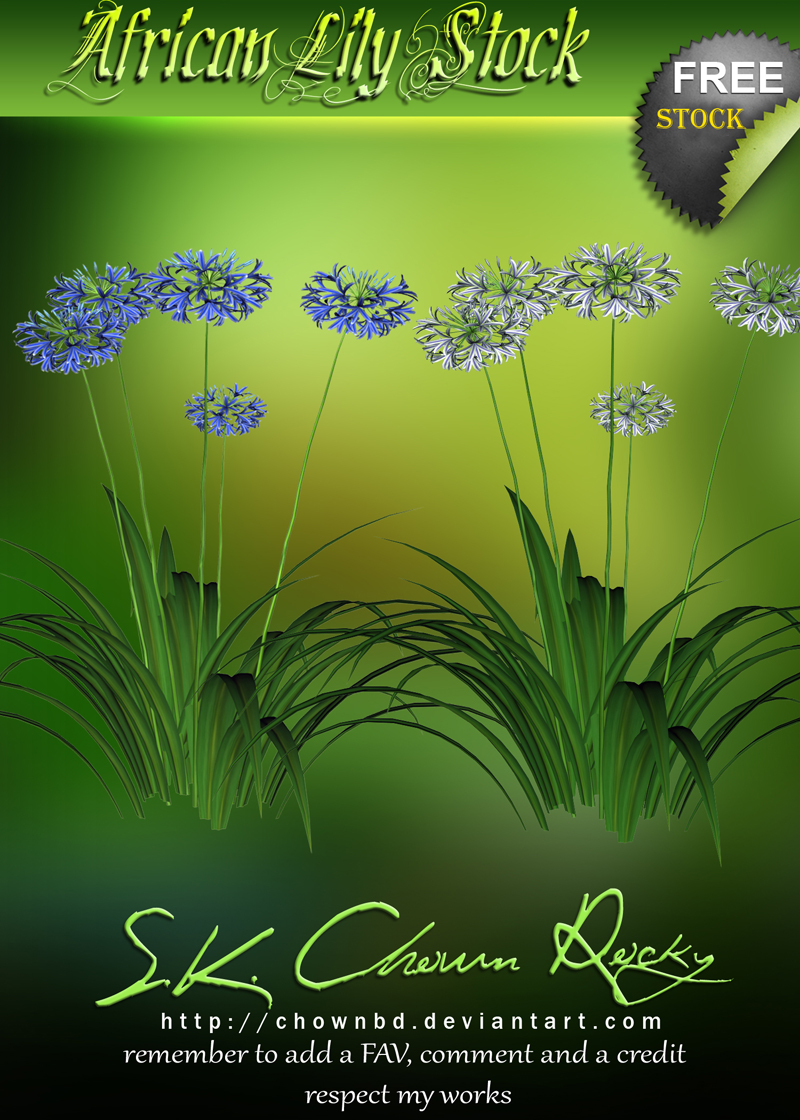 African Lily Stock