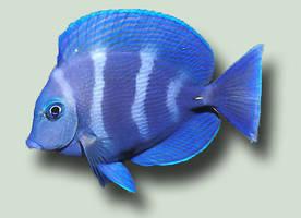 Fish 1 PSD by ravenarcana