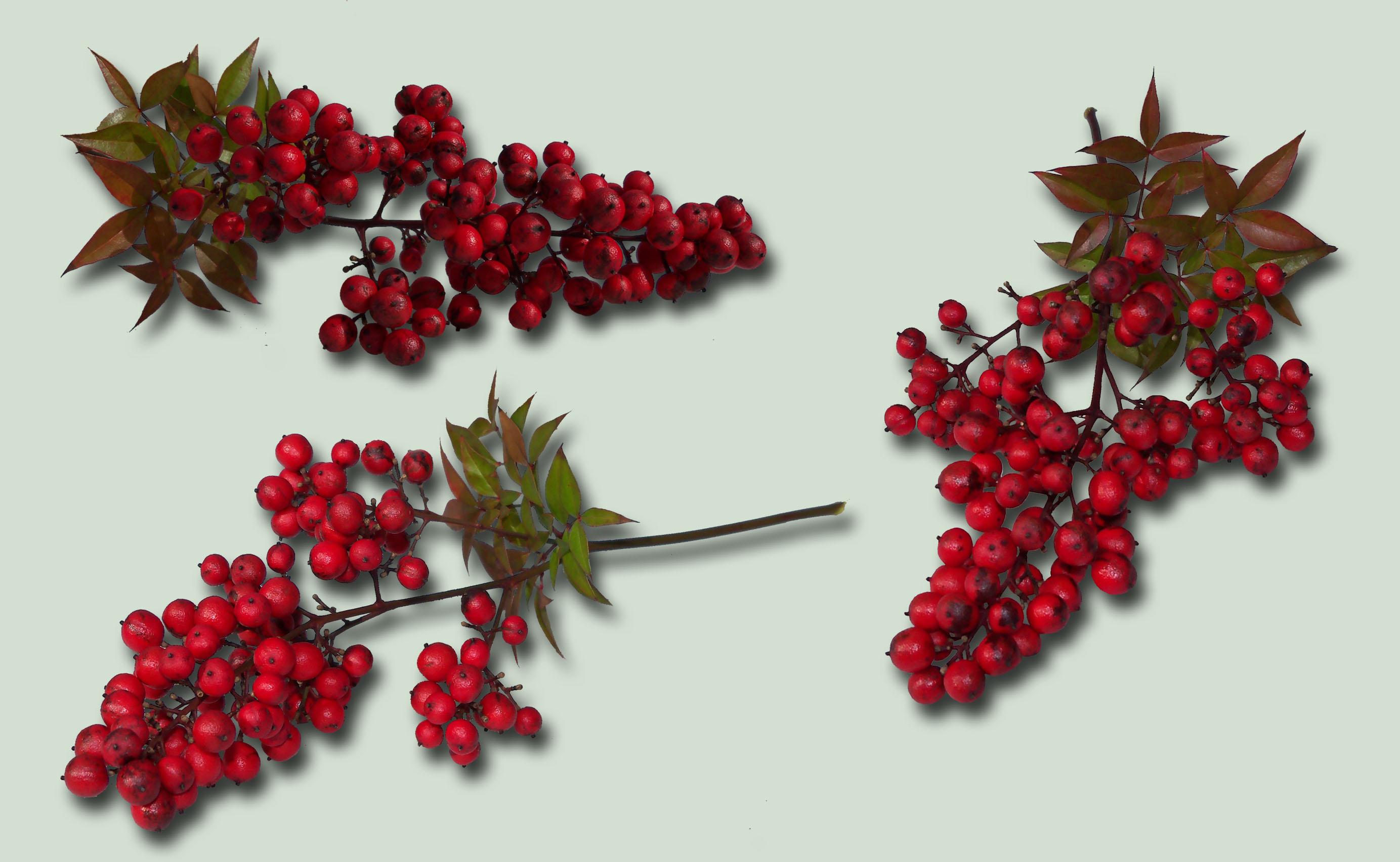 Red Berries Pk PSD