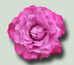 Pink Rose PSD