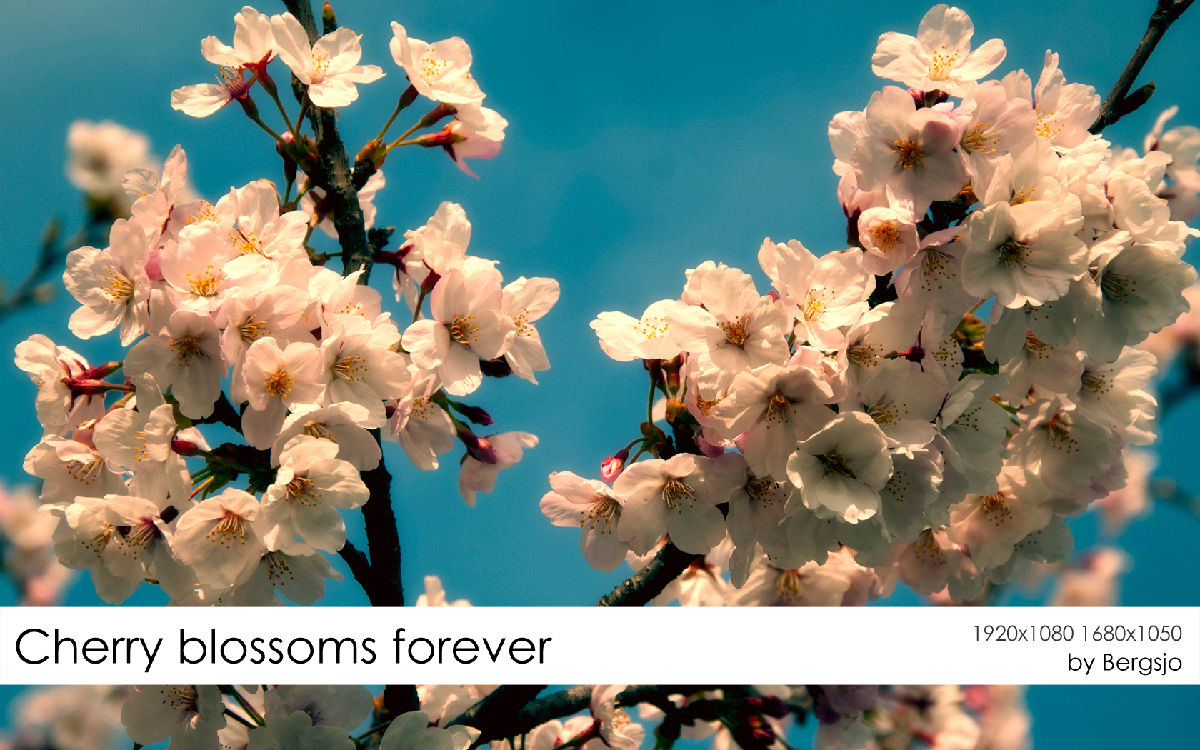 Cherry Blossoms Forever