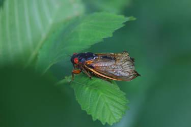 Periodical Cicada by Gerryanimator