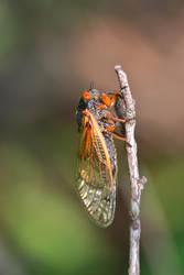 Periodical Cicada 2 by Gerryanimator