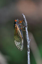 Periodical Cicada 3 by Gerryanimator