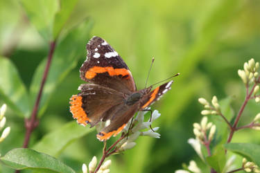 Red Admiral 11 by Gerryanimator