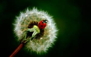 Ladybug Wallpaper by enricoagostoni